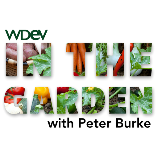 Taking Care Of Cabbage Plants In The Garden podcast